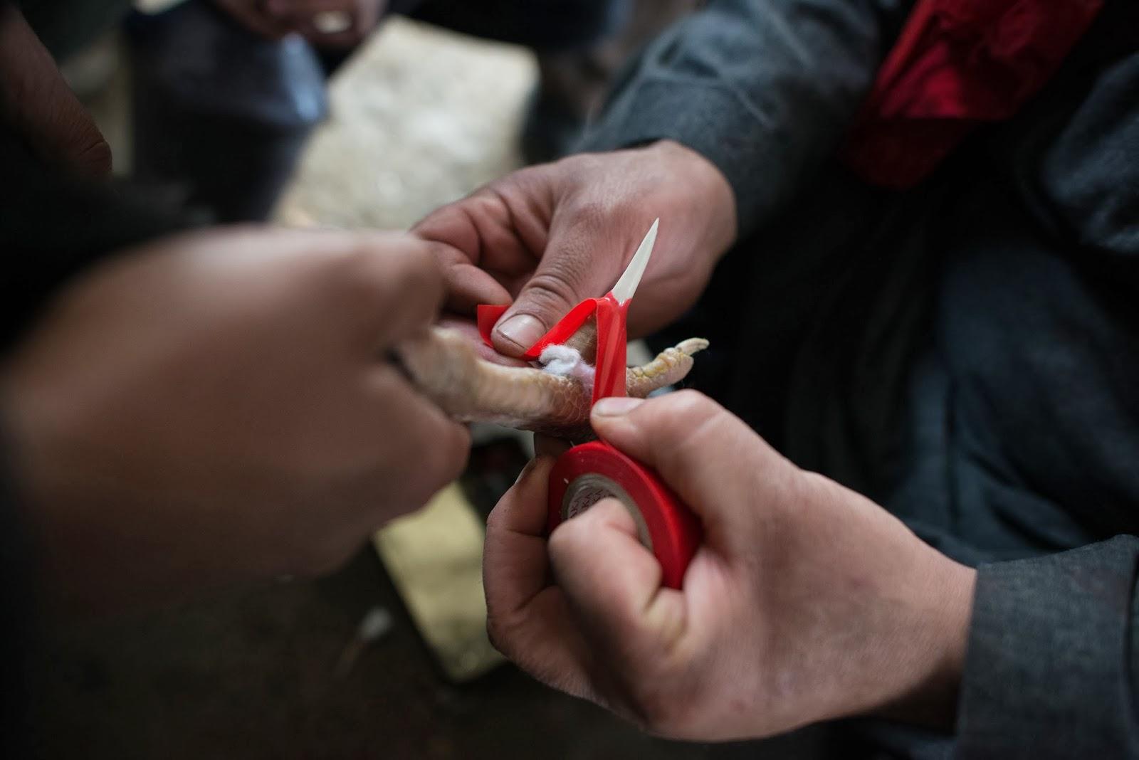 Ciri-Ciri Situs Judi Sabung Ayam Online Yang Terpercaya